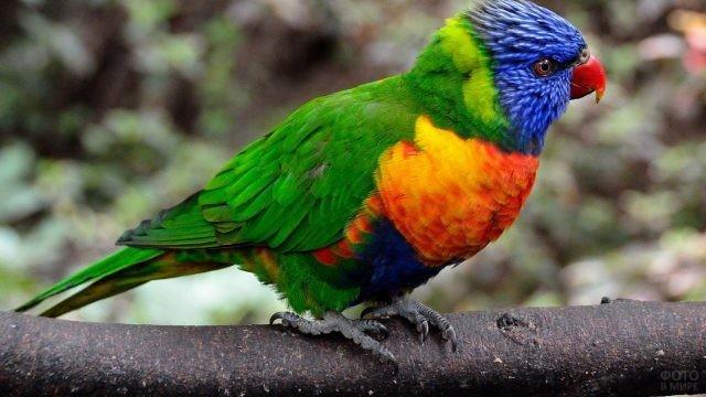 Разноцветный попугай с красным клювом