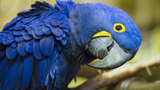 Синий попугай крупным планом