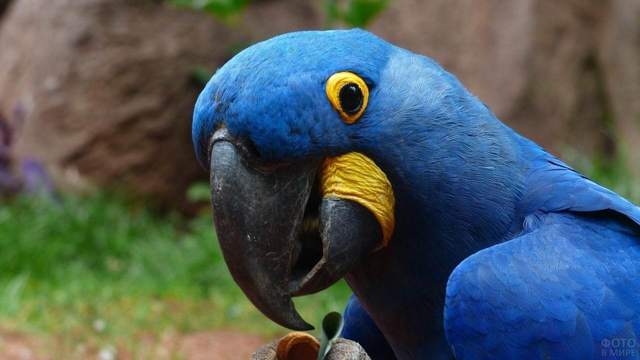Синий попугай с жёлтым ободком вокруг глаз