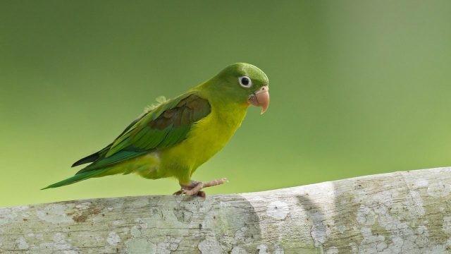 Зелёный попугай ходит по дереву