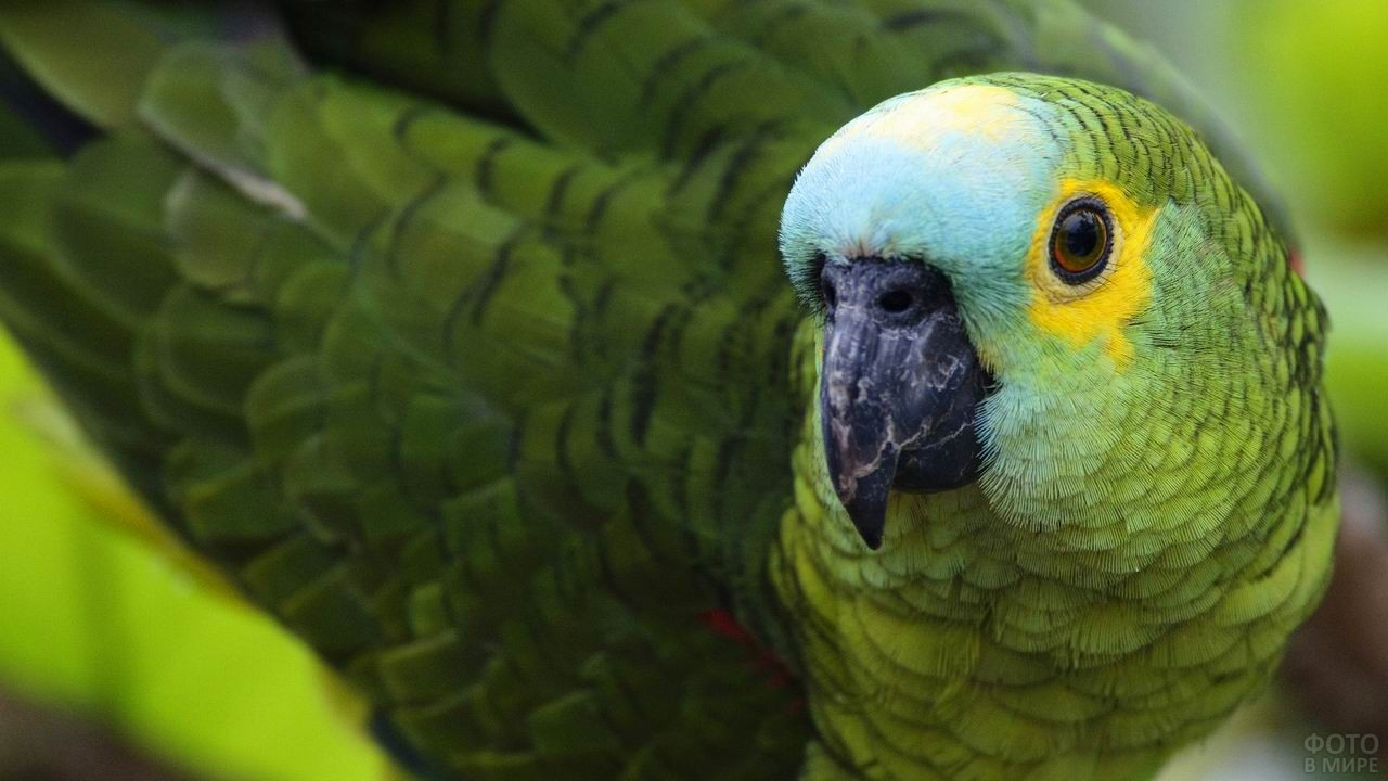 Зелёный попугай крупным планом