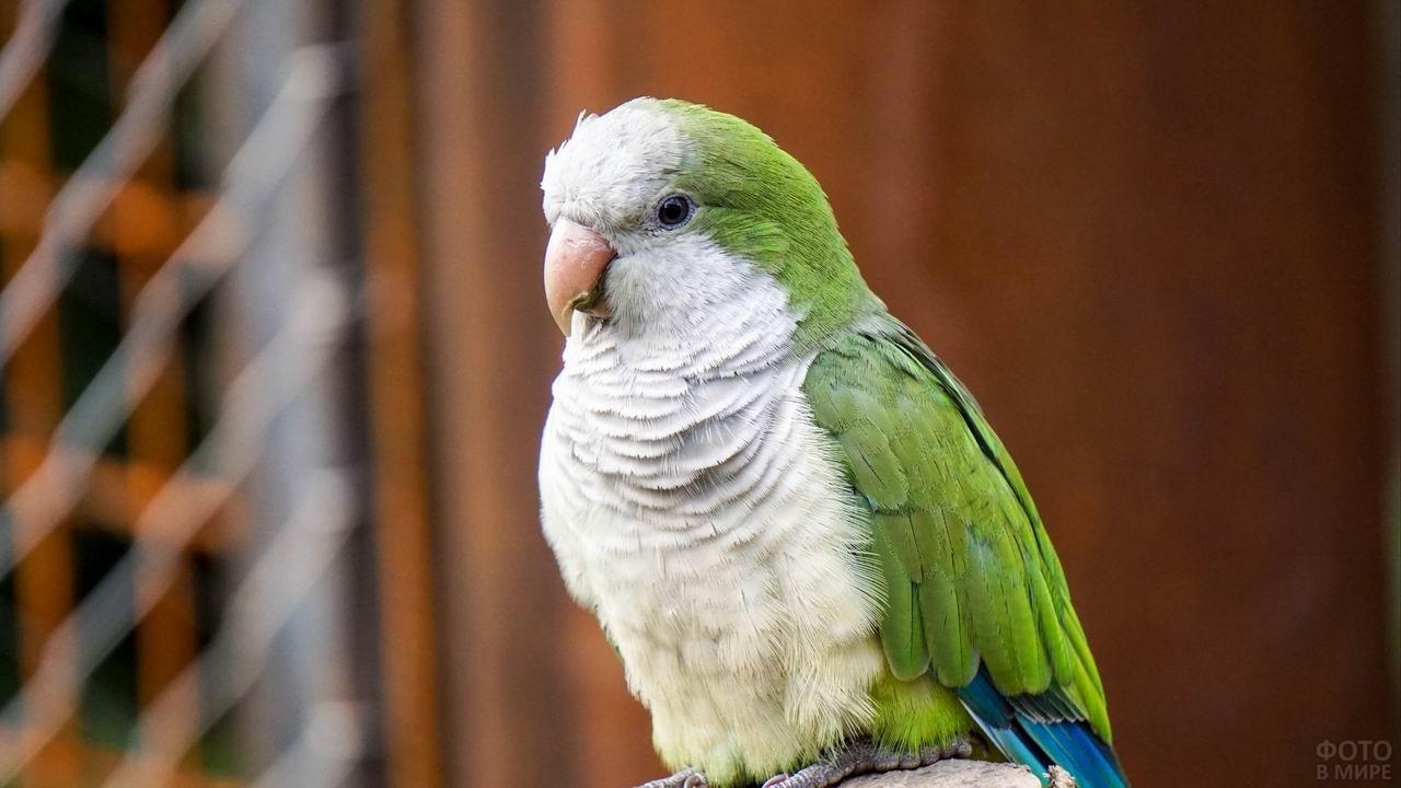 Зелёный попугай с белой грудкой