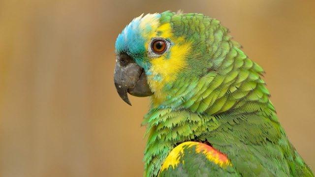 Зелёный попугайчик крупным планом