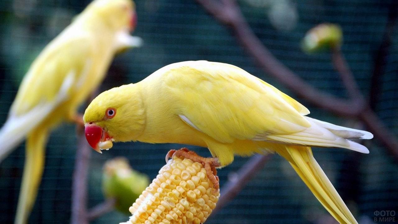 Жёлтый попугай ест кукурузу