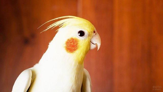 Жёлтый попугай с оранжевыми щёчками