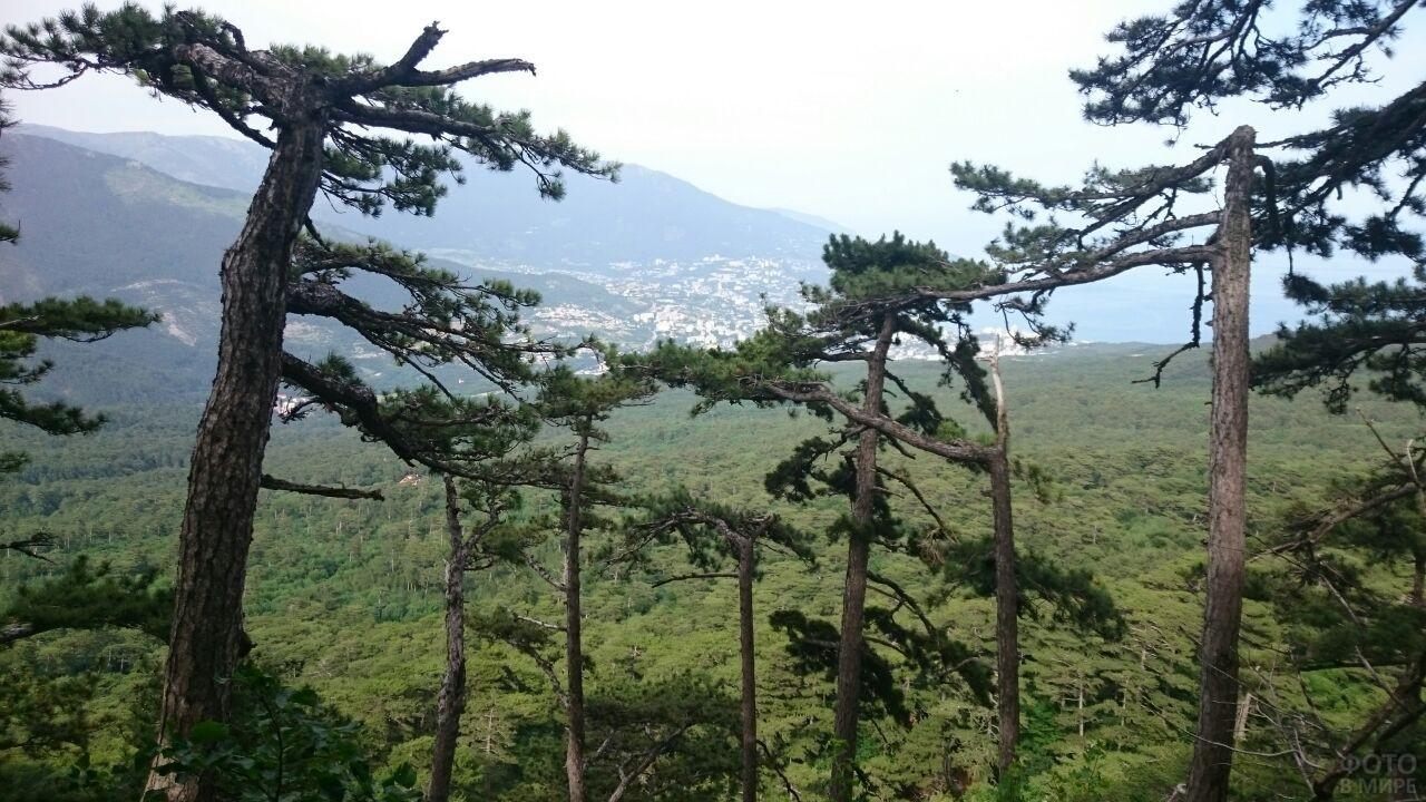 Семейство сосновых деревьев на склоне горы