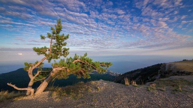Сосна на вершине горы Ай-Петри