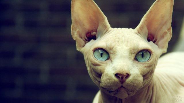 Белый сфинкс с прозрачно бирюзовыми глазами