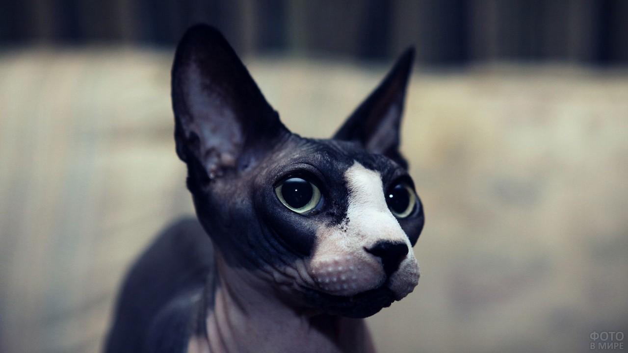 Чёрно-белый сфинкс смотрит в кадр