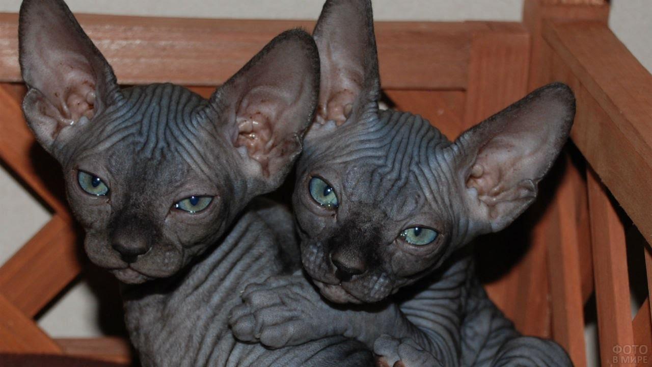 Два чёрных котёнка сфинкса