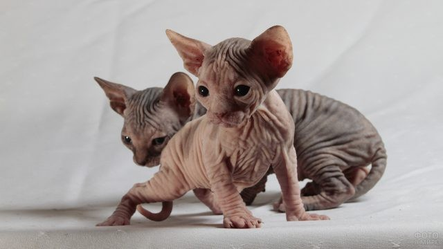 Два котёнка сфинкса