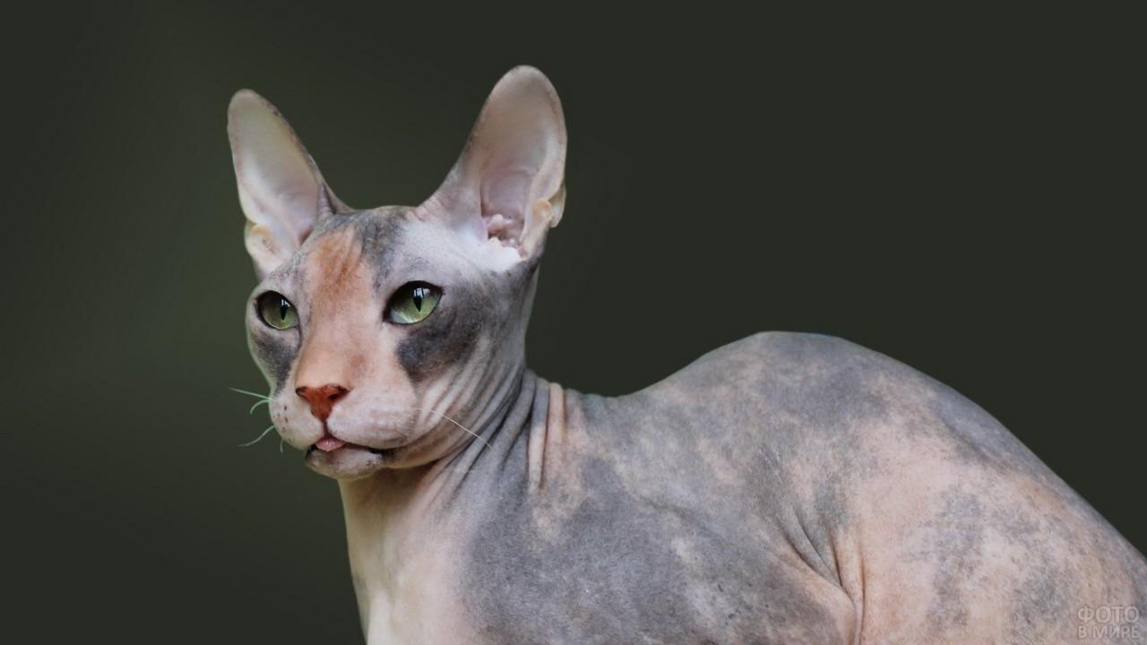 Кошечка породы сфинкс высунула язык