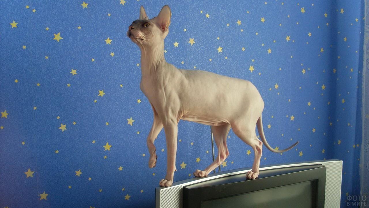 Кот сфинкс стоит на плазме на фоне звёздных обоев