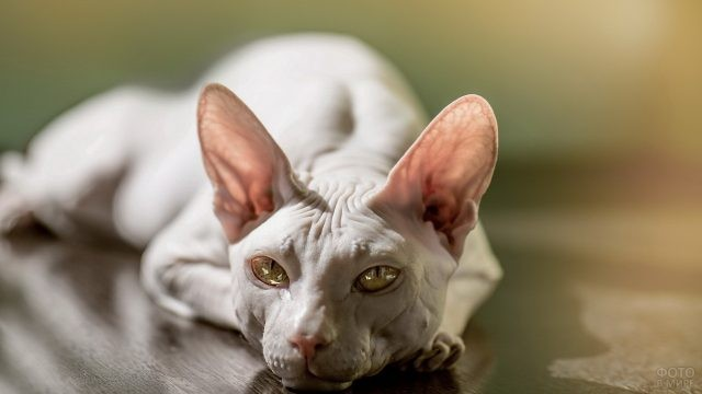 Котик сфинкс лежит на полу