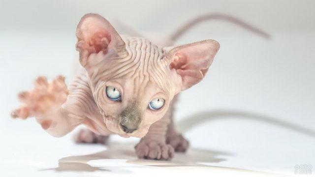 Маленький котёночек сфинкса поднял лапку