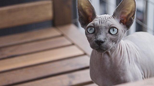 Серый сфинкс с серыми глазами