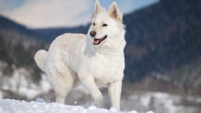 Белая американская овчарка на зимней прогулке