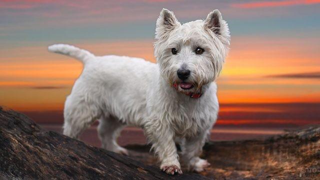 Белая лохматая собака на фоне заката