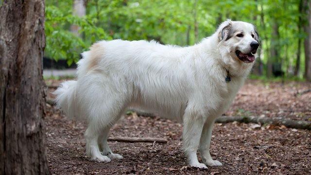 Белая собака в лесу у дерева