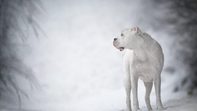 Белый пёс на зимней прогулке в лесу