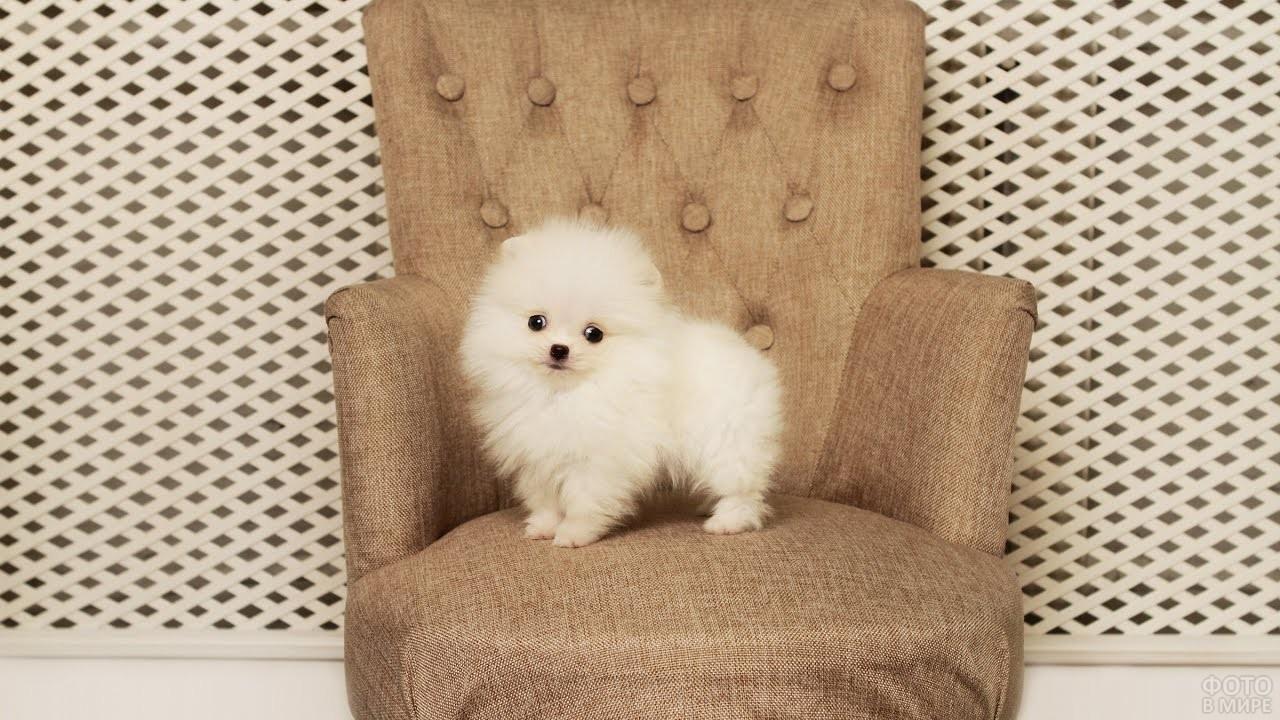 Белый пёсик шпиц в кресле