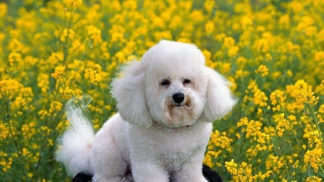 Белый пудель среди жёлтых цветов