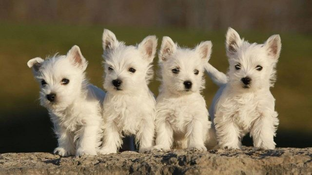 Четыре белых щенка вест-хайленд-уайт-терьер