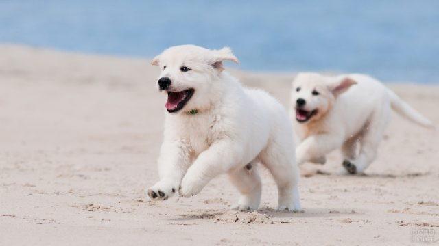 Два белых щенка играют в догонялки