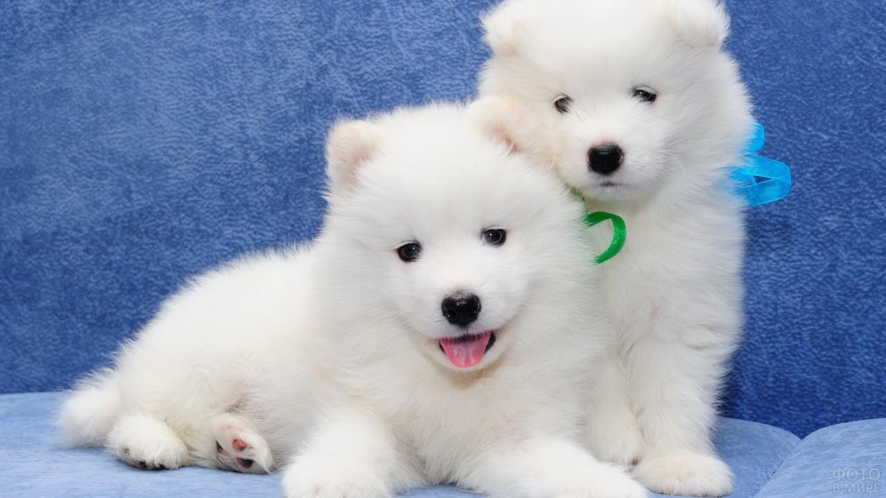 Два пушистых белых щенка самоедской породы