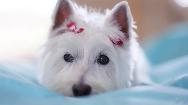 Пёс вест-хайленд-уайт-терьер лежит с задумчивым взглядом