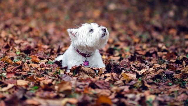 Пёсик породы вест-хайленд-уайт-терьер в осенней листве