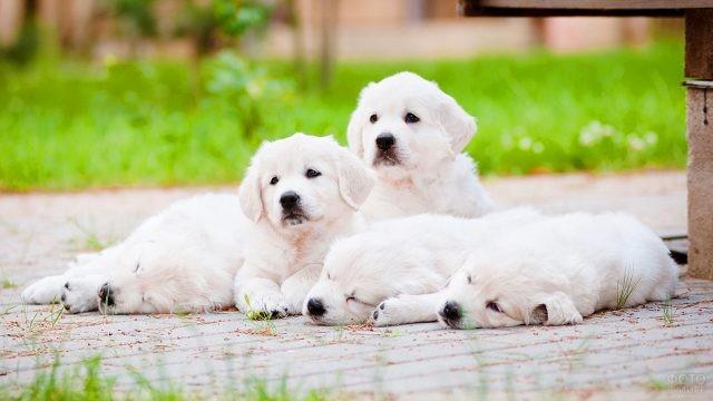 Три белых ретривера отдыхают на улице