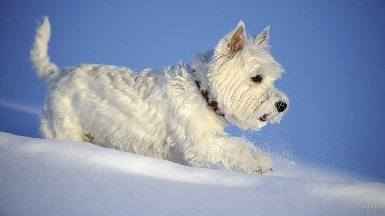 Вест-хайленд-уайт-терьер мчится по снегу