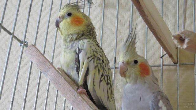 Два попугая сидят в клетке