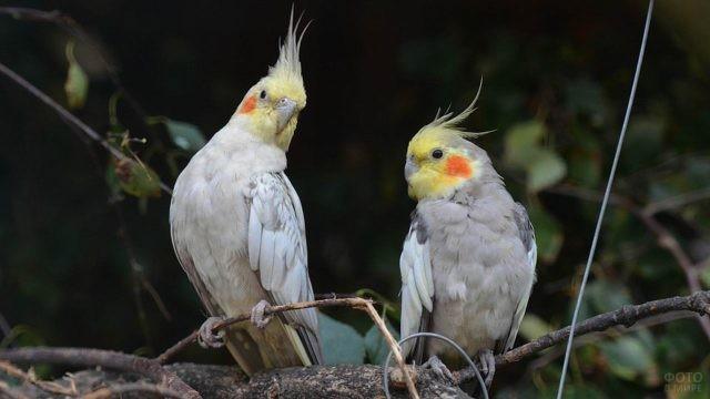Два попугайчика породы корелла