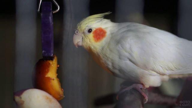 Корелла ест персик