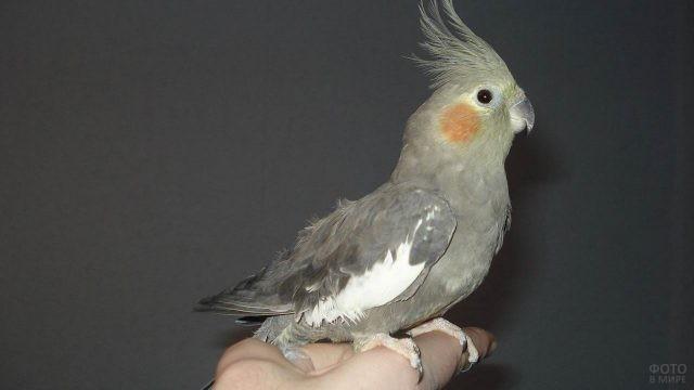 Маленький попугайчик корелла на руке человека