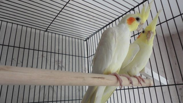 Пара попугаев породы корелла