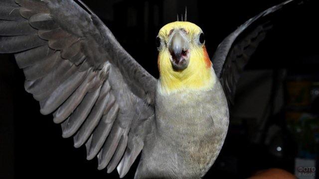 Попугай корелла расправил крылья