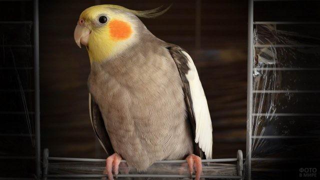 Попугай корелла сидит на дверце клетки
