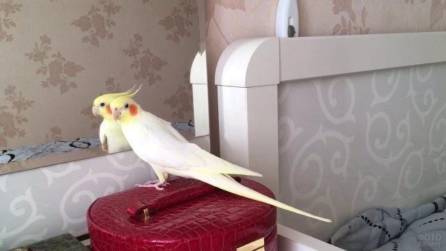 Попугай корелла сидит напротив зеркала