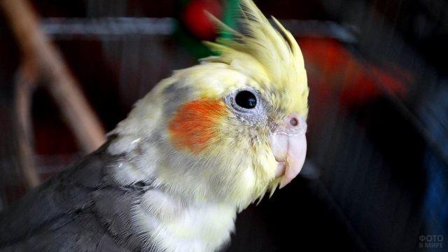 Попугай корелла в профиль