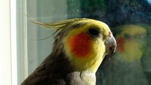 Попугайчик корелла сморит в окно