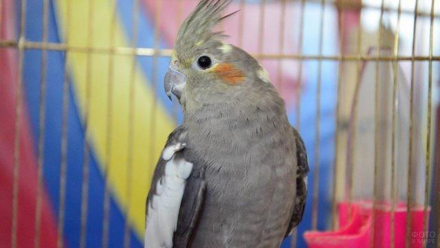Серенький попугай корелла на фоне цветной шторки