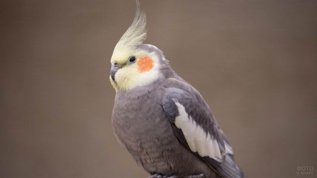 Серый попугай корелла с жёлтым хохолком