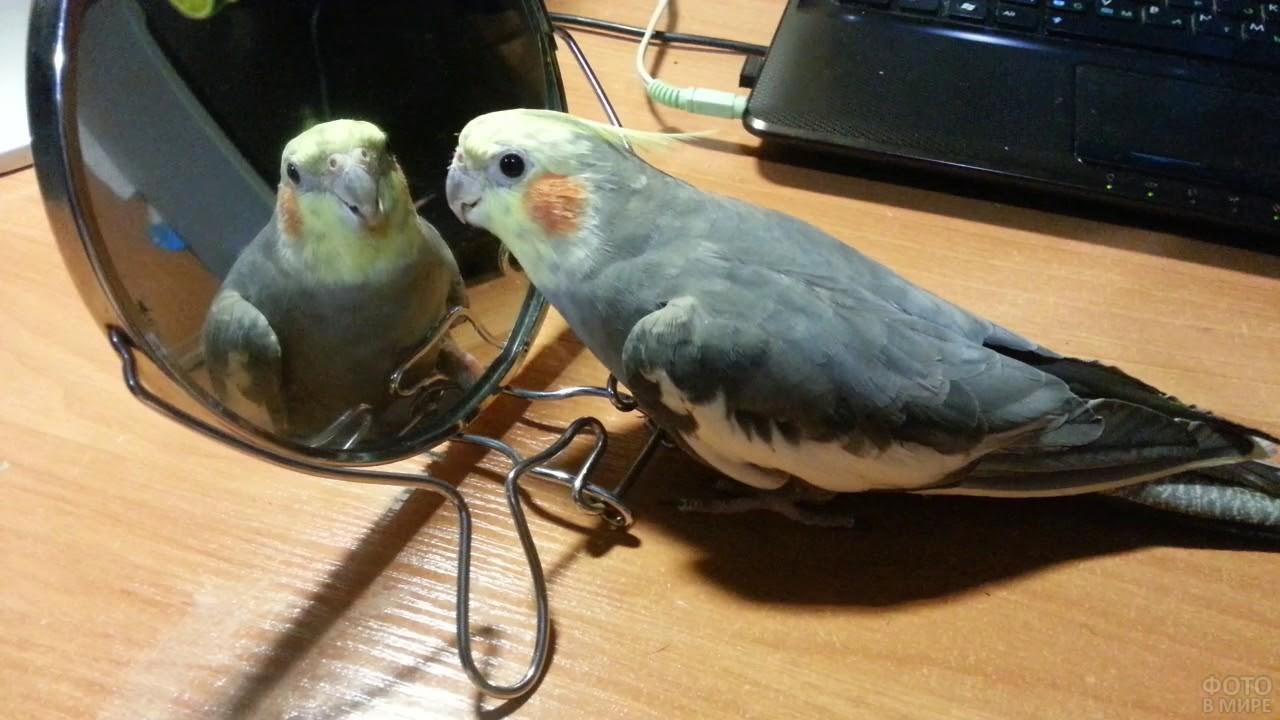 Серый попугай корелла смотрится в зеркало