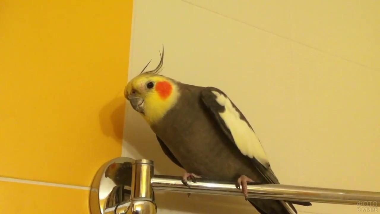 Серый попугай породы корелла
