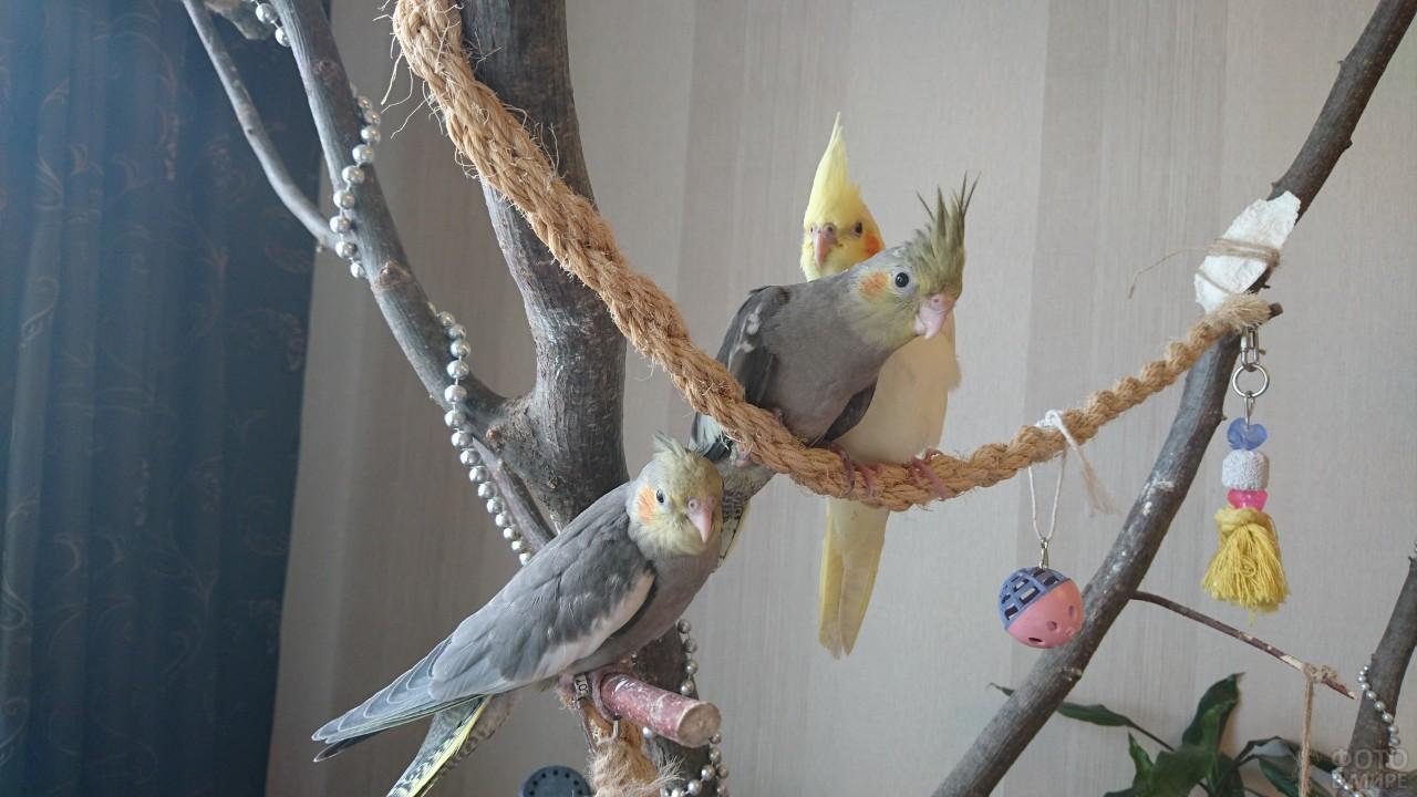 Три попугая породы корелла сидят на домашнем дереве