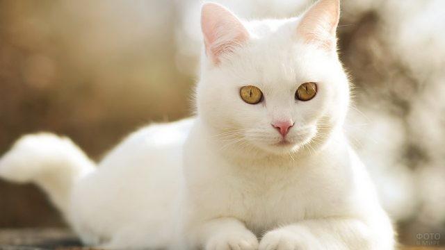 Белая кошка с жёлтыми глазами