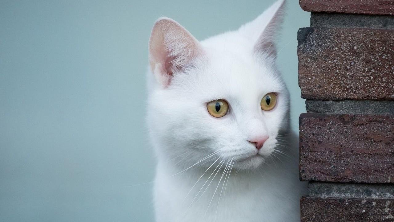 Белая кошка выглядывает из-за угла дома